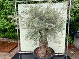 Olea Europea - Olivenbaum bonsai Stammumfang 100 - 120 cm_