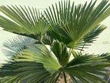 Trachycarpus Wagnerianus Stammhöhe 30 - 35 cm_