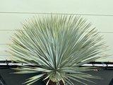 Yucca Rostrata stamhoogte 10 - 20cm