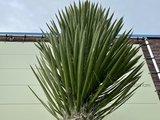 Yucca Filifera stamhoogte 90-100cm