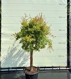 Granaatappelboom maat XL, stamomvang 20-25cm
