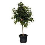 Mandarijnboom maat L 150 cm