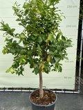 Zitronenbaummaat XL 250 cm_
