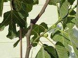 Vijgenboom - Ficus Carica 175 cm, zoete groene vijg