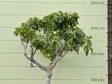 Vijgenboom - 225cm, stamomvang 20-25cm met zoete donkere vijg