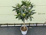Witte Oleander op stam 80-100cm