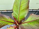 Musa Maurelli - Rote Bananenpflanze 90 cm_