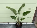 Strelitzia Augusta 150 - 170cm