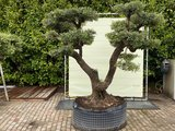 Olea Europea - Olivenbaum pon-Pon, Stammumfang 100 - 110 cm_