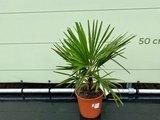 Trachycarpus Fortunei 10 cm stammhöhe_
