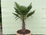 Trachycarpus fortunei  - Palme 150 cm in halb Weinfass_