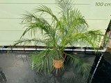 Phoenix Roebelenii stammhöhe 10-30 cm_