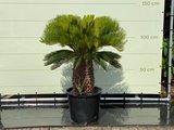 Cycas revoluta Stammhöhe 40-50 cm_