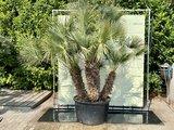Chamaerops Humilis hoogte incl. pot 270 - 300 cm