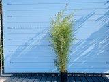 Bamboe Aurea