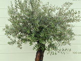 Olea Europea - Olivenbaum, Stammumfang 50-70 cm _