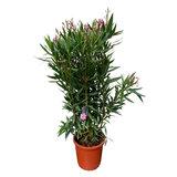 Roze Oleander - Nerium Oleander - 100 cm