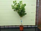 Zitronenbaum Größe L 140 cm_
