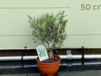 Olivenbaum. Bush auf stamm. 40 cm.