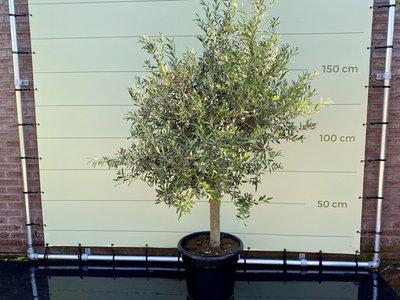 Olea Europea - Olivenbaum mit glatter stamm, Stammunfang 20 - 40 cm