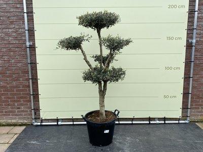 Olea Europea - Olivenbaum pon-pon, stammumfang 20 - 25 cm