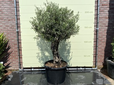 Olea Europea - Olivenbaum Bonsai Stammumfang 60 - 80 cm