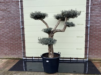 Olea Europea - Olivenbaum pon-pon Stammumfang 40 - 50 cm