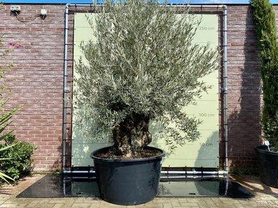 Olea Europea - Olivenbaum bonsai Stammumfang 120 - 140 cm