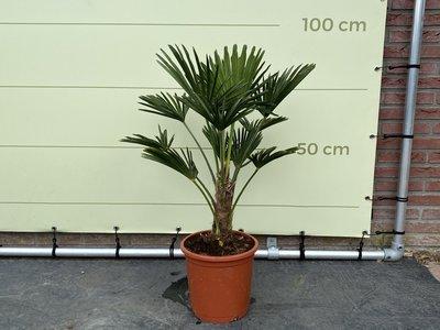 Trachycarpus Wagnerianus Stammhöhe 20-30 cm