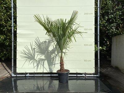 Trachycarpus Fortunei 20 - 30 cm Stammhöhe