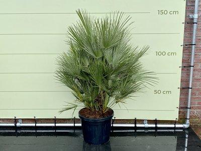 Chamaerops Humilis Gesamthöhe einschließlich Top 150 cm