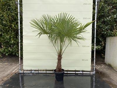 Trachycarpus Fortunei 40 - 50 cm Stammhöhe