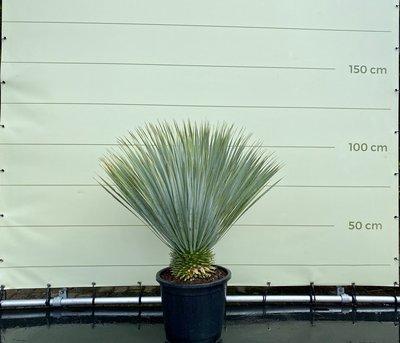 Yucca Rostrata Stammhöhe 10 - 20 cm