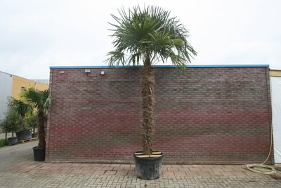 Trachycarpus Fortunei 230 cm Stammhöhe