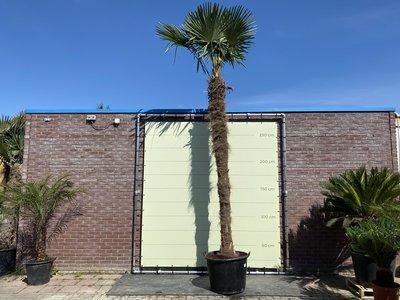 Trachycarpus Fortunei 400 cm Stammhöhe