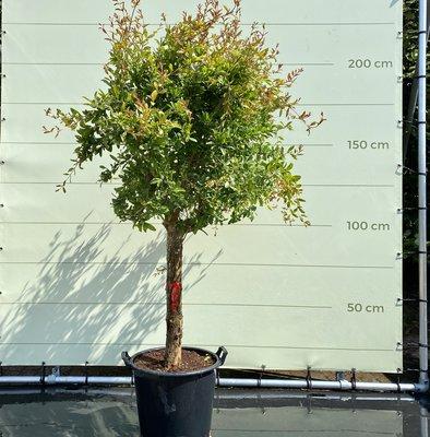 Granatapfel Baum Größe XL, Stammumfang 20-25 cm