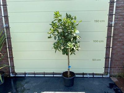 Limettenbaum. Grosse L, 150 cm