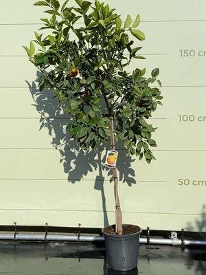 Orangenbaum L 170 cm