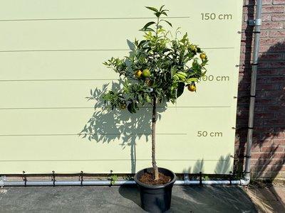 Mandarinenbaum Grösse L 150 cm
