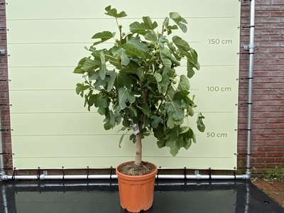 Feigenbaum Stammumfang 12/14 cm, süße dunkle Feige