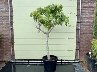 Feigenbaum - 225-250 cm, Stammumfang 20-25 cm mit süßer dunkler Feige