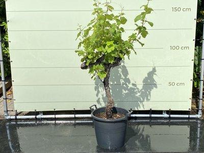 Traube auf altem Stamm - 110 cm, Stammhöhe 60-80 cm