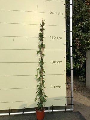 Efeu, Hedera, 180/220 cm