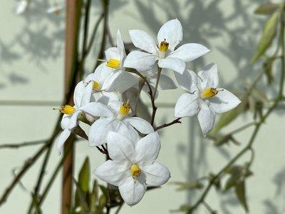 Klettern Nachtschatten- Solanum Jasminoides 150 cm mit weißer Blüte