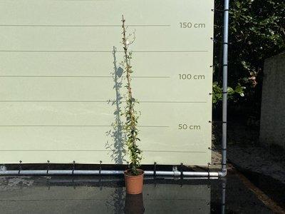 Toskanische Jasmin 130 - 150 cm