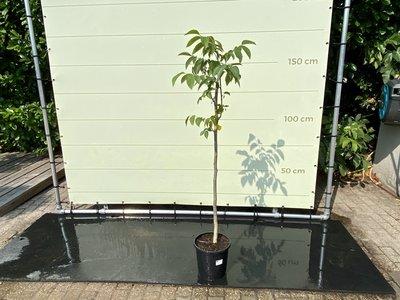 Juglans Regia - Walnussbaum ca. 150 cm