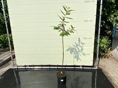 Castanea Sativa - Kastanienbaum 150 cm