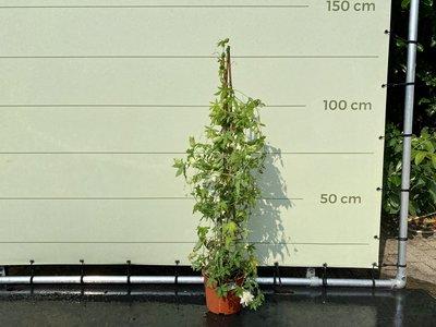 Passiflora Schneekönigin Pyramide weiß, Blüte durchmesser ca. 6 cm
