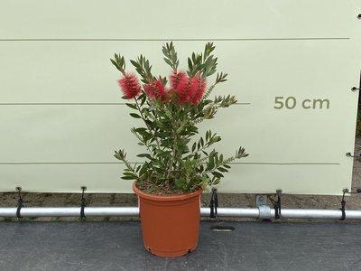 Callistemon Buschform 60 cm