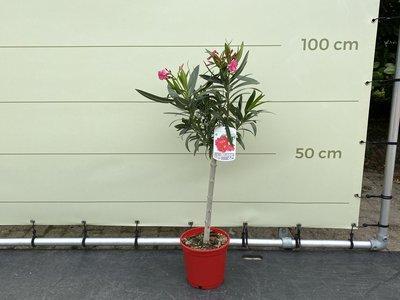 Roter Oleander auf Stamm 80-100 cm